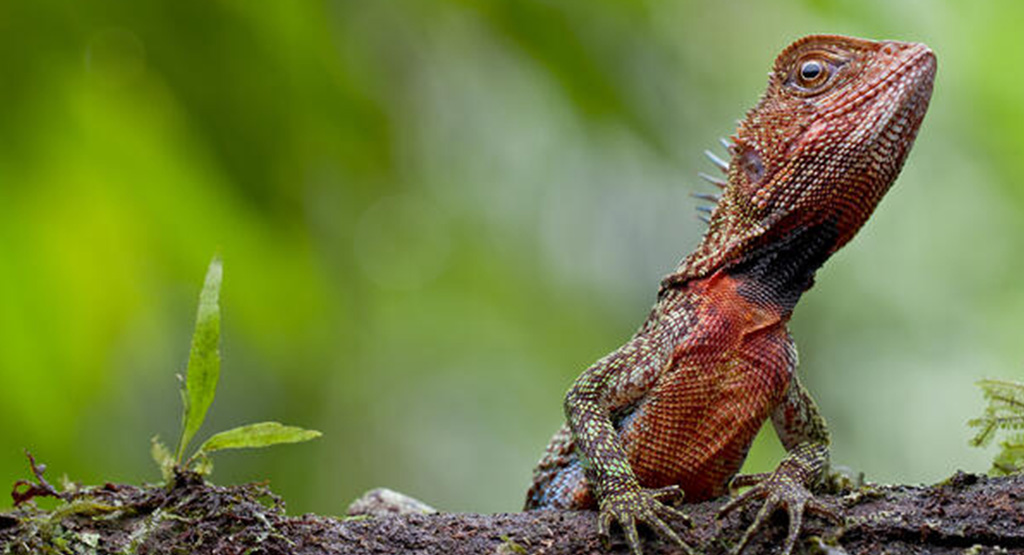 Amazon Dwarf-Iguana